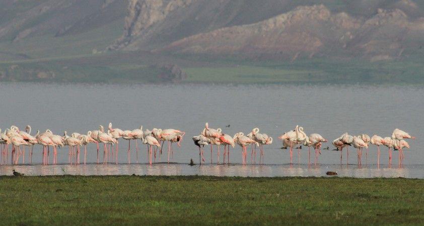 Flamingolar Erçek Gölü'ne bu yıl erken geldi