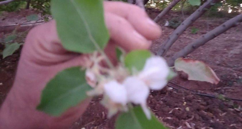 Elazığ'da yalancı bahara aldanan kiraz ağaçları çiçek açtı