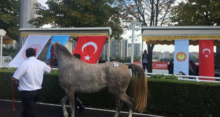 Safkan Arap yarış atı