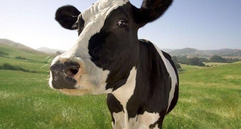 55 bin baş besilik hayvan ithalatına izin verildi