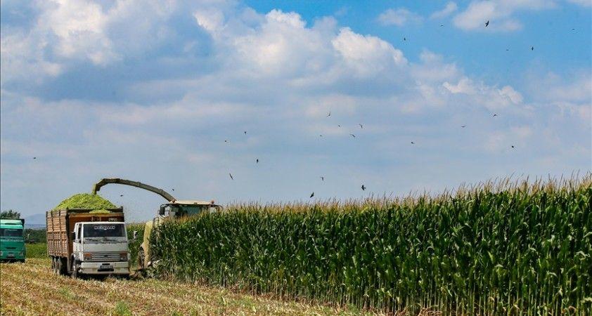 TMO yem fiyatları regülasyonu için haftaya mısır ihalesi düzenleyecek