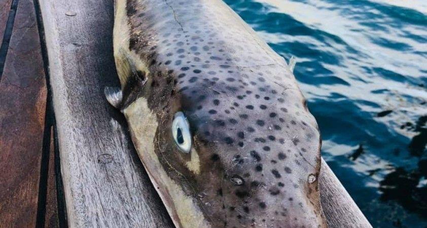Balıkçıların korkulu rüyası balon balığının boyu 1 metreye ulaştı