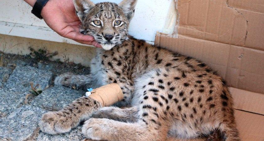 Ormanlık alanda bulunan yaralı vaşak koruma altına alındı