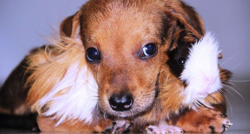 Gine domuzuyla yavru köpeğin dostluğu görenleri şaşırtıyor