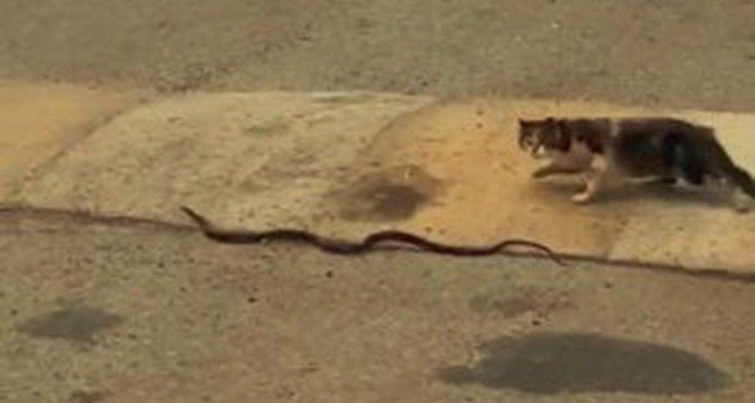 Yılanı ağzına alıp götüren kedi pes dedirtti