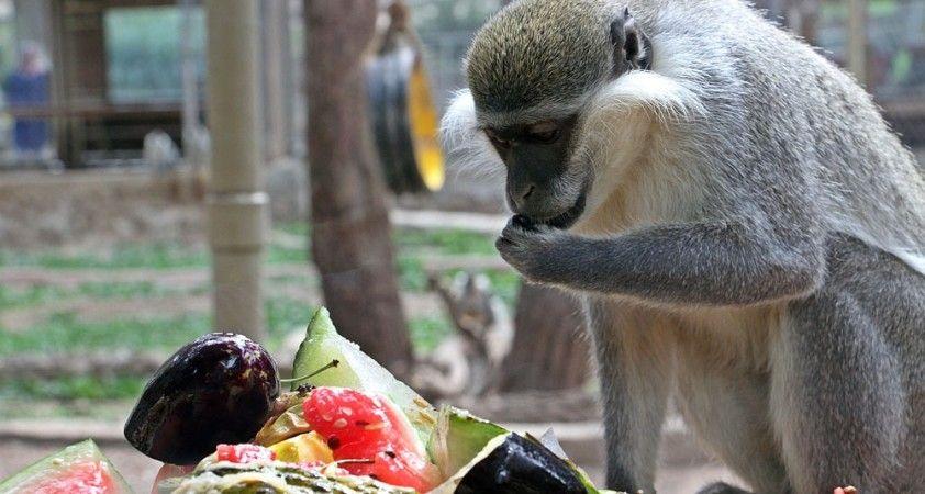 Sıcaktan bunalan maymunların buzlu meyve kokteyli keyfi