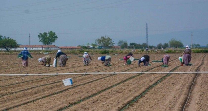 Karacabey'de bu yıl 1,3 milyon ton domates hasat edilecek