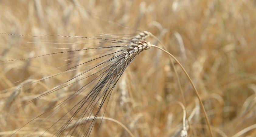 Ata tohumu karakılçık Çukurova'nın bereketli toprağıyla buluştu