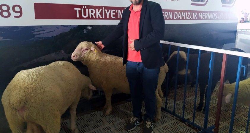Festivalde Türk Merinos koyununa yoğun ilgi