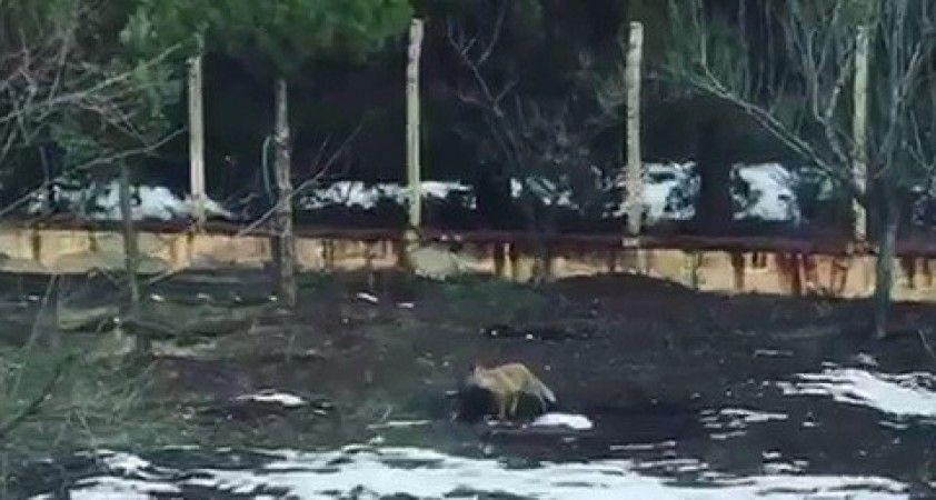 Tavuğunu yiyen tilkiye