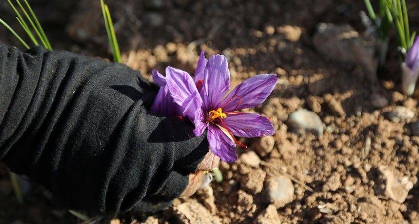 İran'da kuraklık nedeniyle 'kızıl altın' safranın çiçekleri açmadı