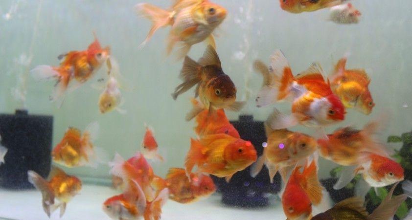 Koronavirüs akvaryum balığı ithalatını vurunca fiyatlar yüzde 100 arttı