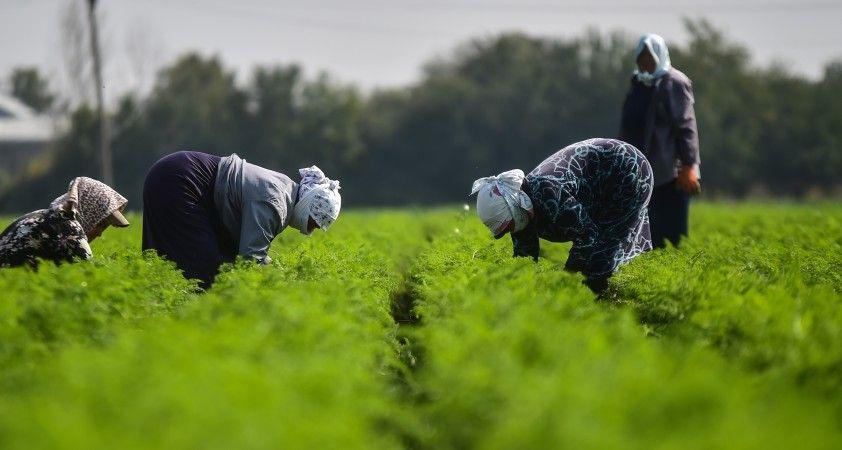 Azerbaycan'da savaşın gölgesinde havuç hasadı