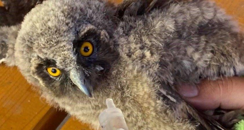 Orman baykuşu tedavi altına alındı
