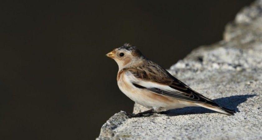 En nadir kuş türlerinden 'alaca çinte' 4 yıl sonra ilk kez görüntüledi