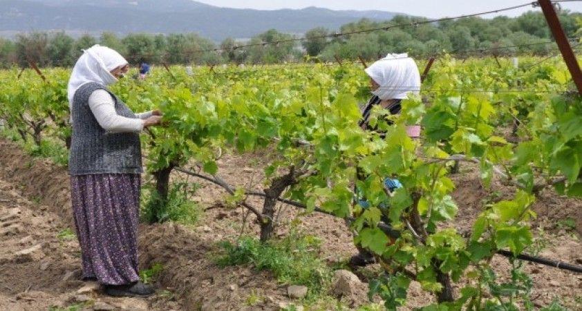 Manisa'da tarımsal üretim kesintisiz devam ediyor