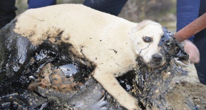 Zifte yapışan köpek ve kaplumbağalar iki gün kurtarılmayı bekledi
